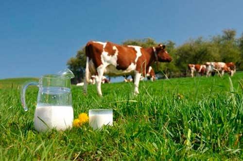молочная корова